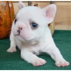 Available French Bulldog Puppies contact or WhatsApp us on (+971523440048)