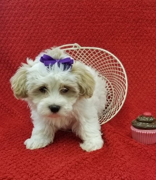 Beautiful Havanese Puppies for sale