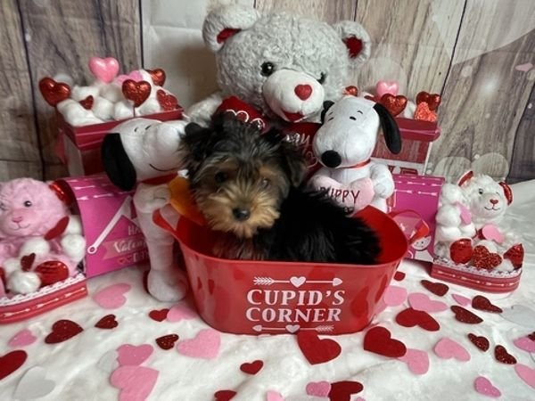 Playful Yorkshire Puppies for sale