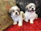 Cute Shih Tzu puppies available for sale