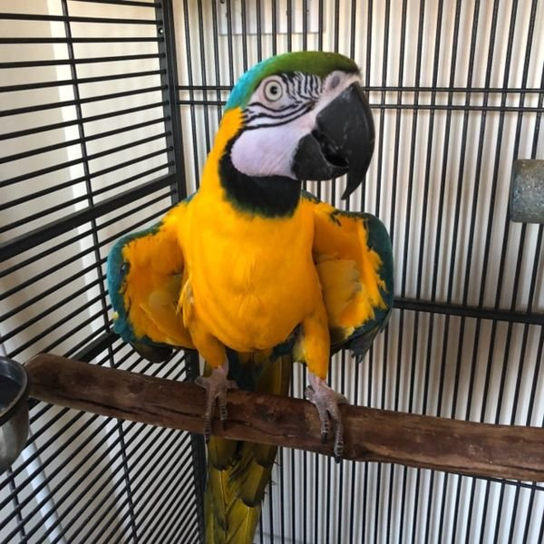 Beautiful and Talking Blue and Gold Macaw For Sale