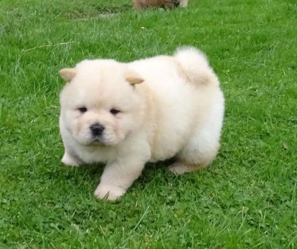 Affordable chow chow puppies for sale