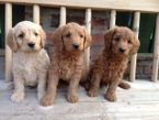 Toy Poodle Puppies Available for sale
