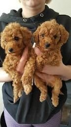 Toy Male and Female Poodle puppies