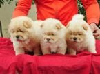 chow chow puppies for adoption now whatshapp +97150418305