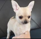 Amazing Beautiful Chihuahua Puppies for sale
