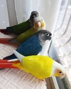 Varieties of one.sided African parrots