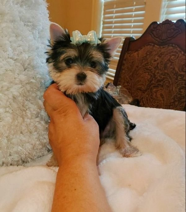 We have beautiful Yorkshire Terrier puppies available