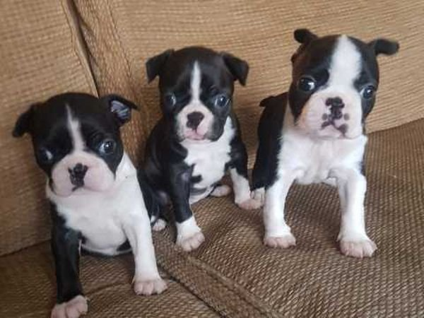 Beautiful  Boston Terriers puppies