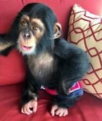 Cute Chimpanzee Monkeys for Sale