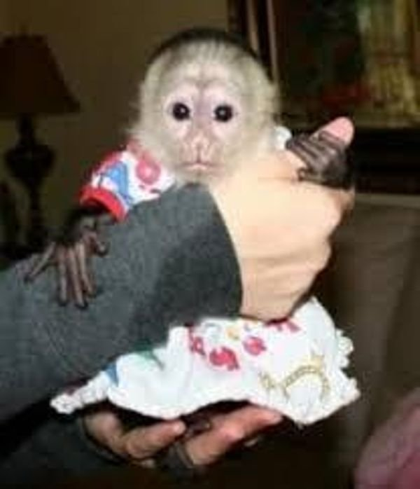 Sweet capuchin monkeys looking for a good and caring home.