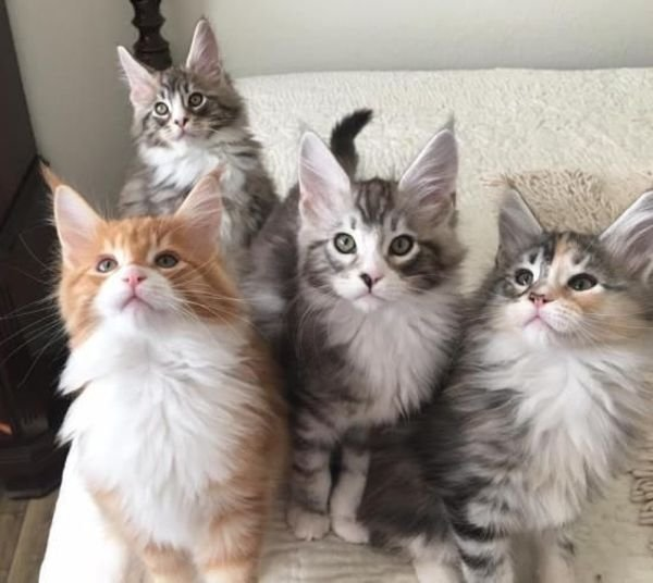 Pure Breed Maine Coon Kittens Available