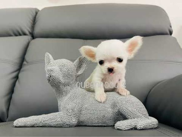 ADORRABLE CHIHUAHUA PUPPY AVAILABLE