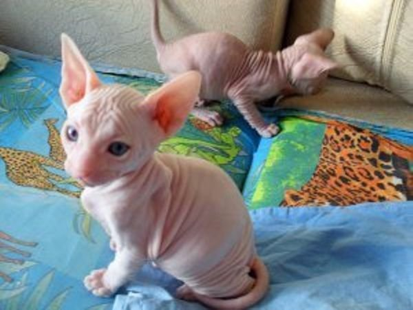 sphynx boy and girl with blue eyes is available