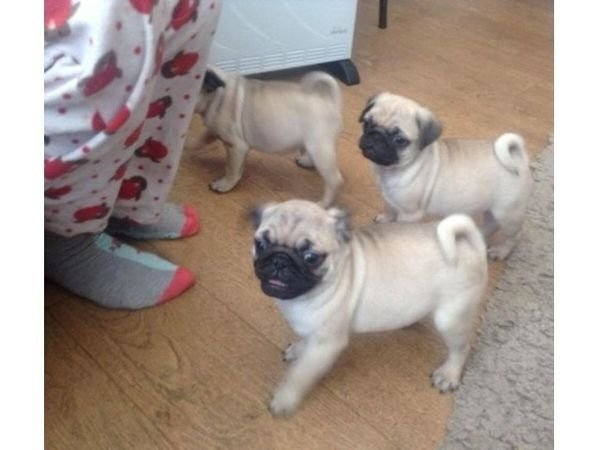 Trained Pug Puppies for sale