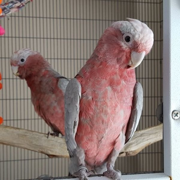 Gentle Galah cockatoos ready for a new home