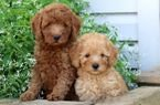Toy Poodles for Rehoming whqtahshapp +971504185305