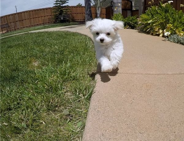 beautiful maltese puppy available