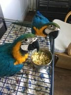 Cute Blue and Gold Macaw parrots male and female for sale