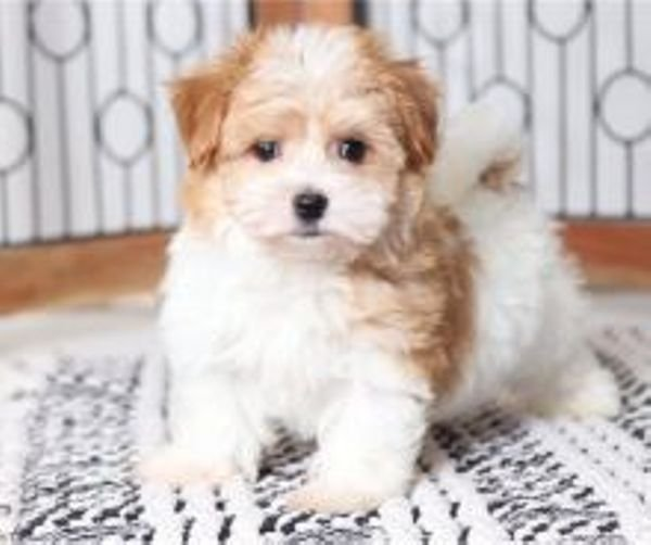 Pure breed Havanese puppies for sale