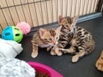 Friendly Bengal kitten male and female