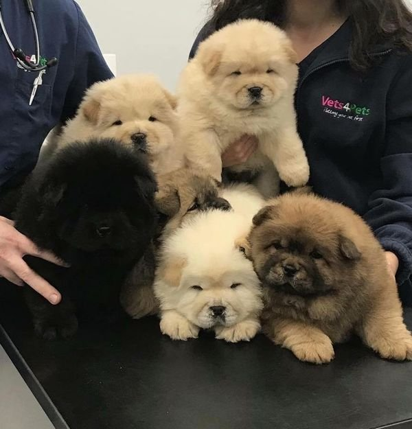 Adorable Chow Chow puppies available for Sale