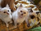 RAGDOLL KITTEN FOR SALE