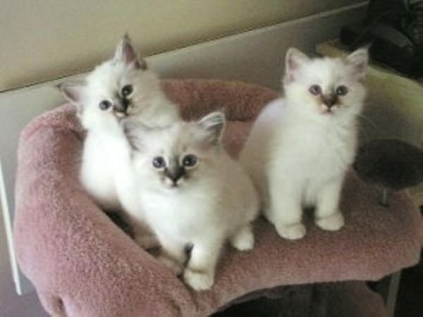 Seal Point Birman kittens