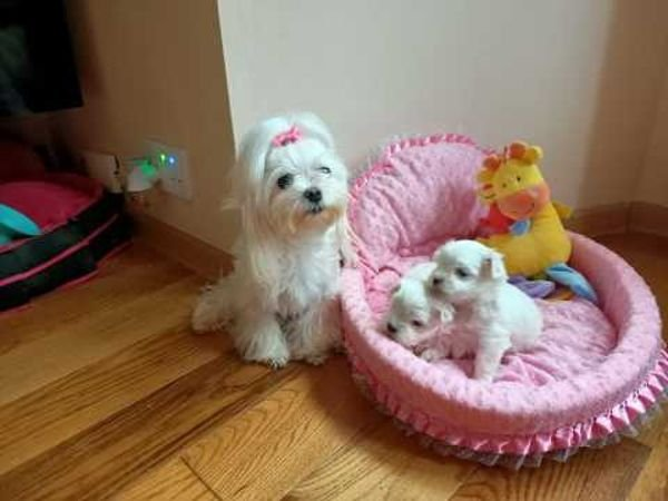 LOVELY ADORABLE MALTESE PUPPY AVAILABLE