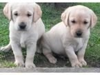 Lovely Labrador Puppies for Sale