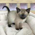 Dearest Siamese Kittens for sale