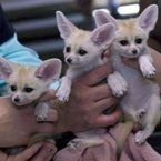Lovely Fennec Foxes for sale