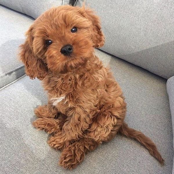Adorable Cavapoo Puppies Available