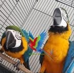 Blue and Gold macaw parrots