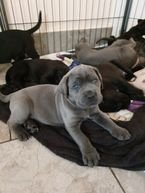 Gorgeous Cane Corso Puppies For Sale