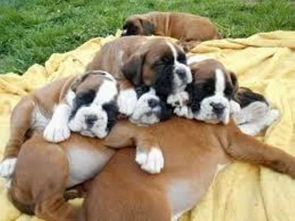 Boxers puppies for sale