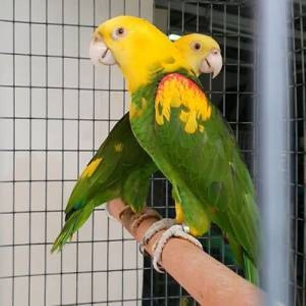 Amazon Parrots Available