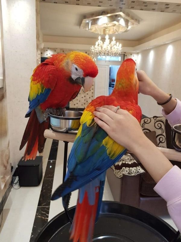 Talking and Singing Scarlet Macaw Parrots for sale