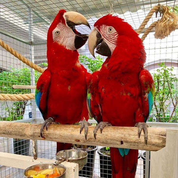 We have beautiful male and female Greenwing Macaw parrots for sale