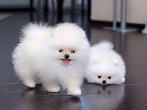 Healthy Teacup white Pomeranian puppies for sale