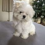 Stunning TeaCup Maltese puppies Available for sale