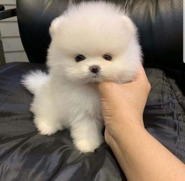 TWO AWESOME TEACUP POMERANIAN PUPPIES