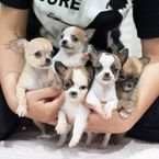 AKC Healthy Teacup chihuahua Puppies Available for sale