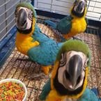 FRESH FERTILE PARROT EGGS, PARROT CHICKS  and EVEN PARROTS  FOR SALE