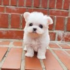 Registered Teacup Maltese Puppies Available for sale