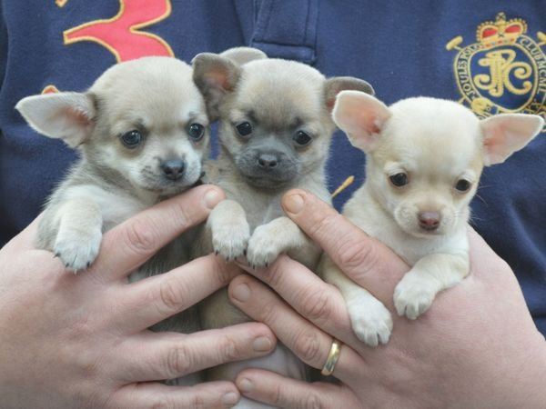Super Adorable Teacup Chihuahua Puppies For Sale