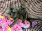 Finger Marmoset Monkeys for sale