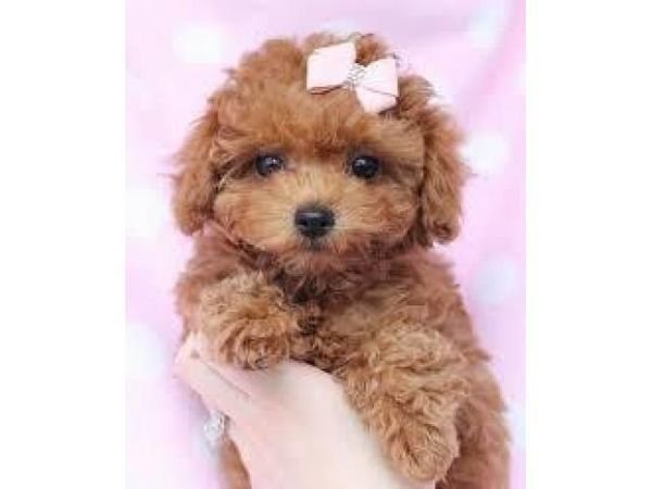 poodle puppie for adoption