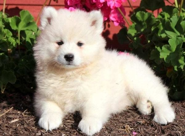 Beautifull Samoyed puppies For Sale