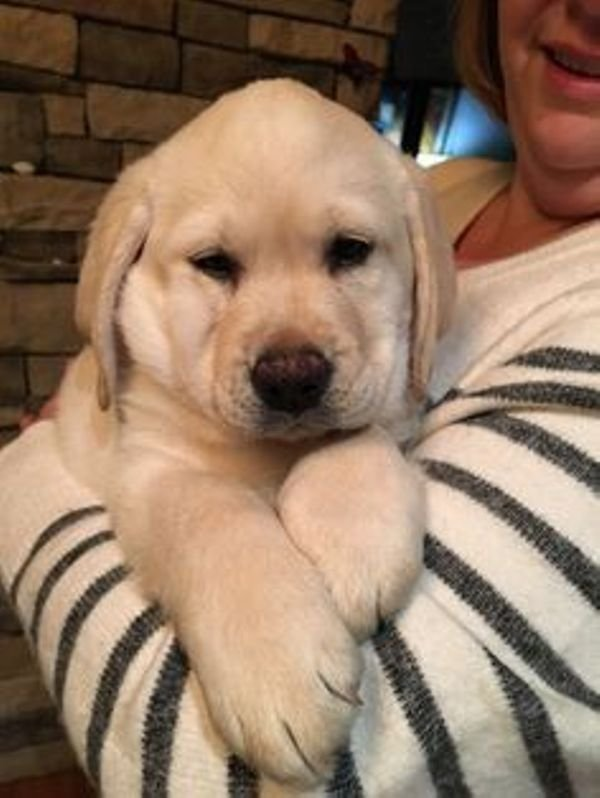 Playful Labrador Puppies for sale